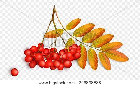 Realistic 3d mesh rowan branch isolated on a transparent background. Rowan branch with orange leaves and ashberry isolated on a white background. Vector illustration