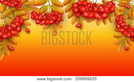 Beautiful greeting card with realistic 3d mesh rowan branch on a orange background. Rowan branch with orange leaves and red ashberry. Vector illustration