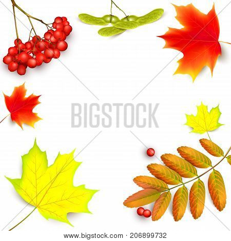 Banner with maple autumn leaves and rowan branches with ashberry . Autumn maple leaf and red rowan branches with ashberry isolated on a white background. Vector illustration