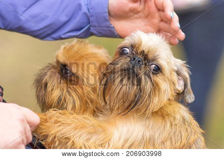 Two Griffon dogs are peeking out of a pram. Small dog close-up. Concept: cute, home, friend, love, affection, kindness, care. Space under the text. 2018 year of the dog in the eastern calendar
