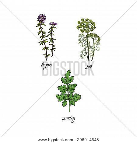 vector flat cartoon sketch style hand drawn Spices , seasoning, flavorings and kitchen herbs set. thyme, dill and parsley leaves, stem. Isolated illustration on a white background.