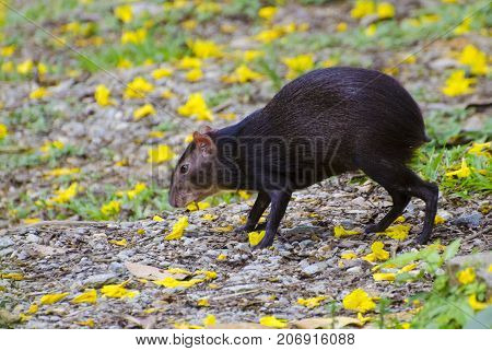 Agouti eating yellow Poui flowers in the Northern Range in Trinidad