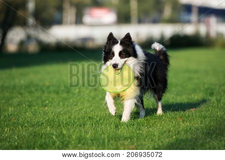 happy border collie dog running in the park