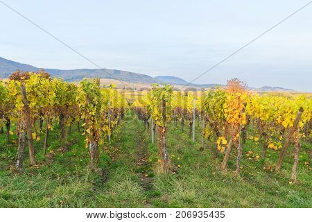 Landscape with green and yellow autumn vineyards rows of Route des Vin, France, Alsace
