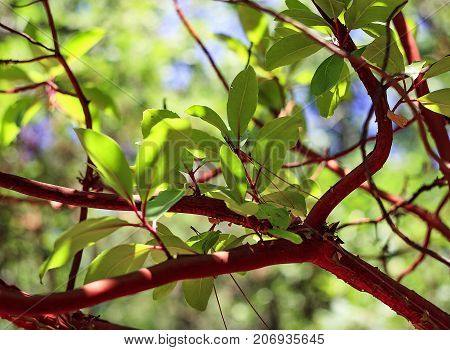 Beautiful Leaves Of A Laurel Leaf On A Branch With A Red Bark, Subtropical Wood