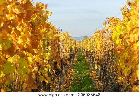 Landscape with bright yellow autumn vineyards of Route des Vin, France, Alsace