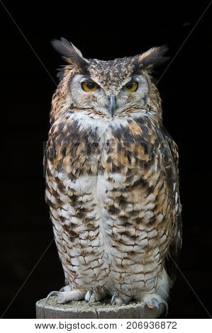 An upright portrait of an eagle owl standing on a post facing forward with large orange eyes staring set against a black background