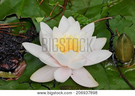 Lily pad flower surrounded by lily pads macro