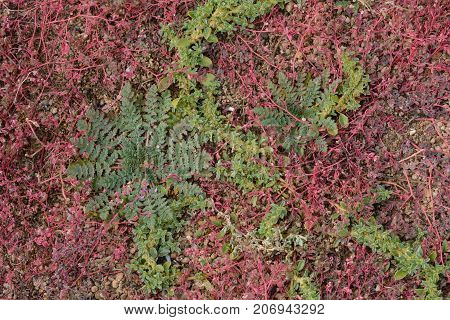 Overgrowth of green and red weeds in autumn in gravel that needs serous weed control
