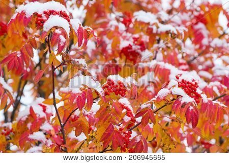 Mature mountain ash with red leaves covered with snow