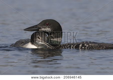 A Two-month Old Common Loon Chick Snuggles Up Next To Its Mother  In Late Summer - Ontario, Canada