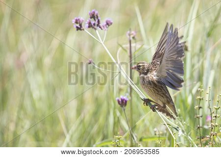 Female Long-tailed Widowbird sitting on a brush to rest