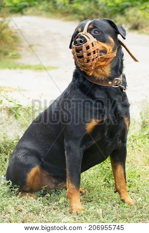 dog Rottweiler breed in muzzle sits on the grass and looks away