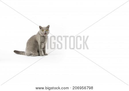Portrait of British Shorthair cat on a white background.