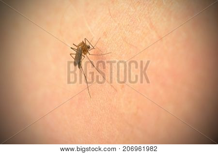 The mosquito bites into the arm and the abdomen is filled with blood