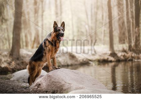 Dog German shepherd standing on rock near forest lake