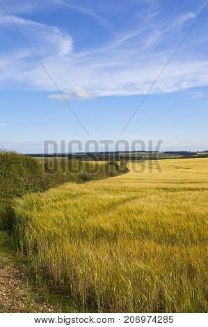 Hedgerow And Barley
