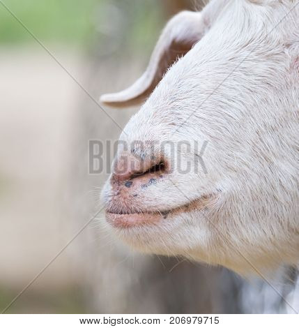 nose sheep . In the park in nature