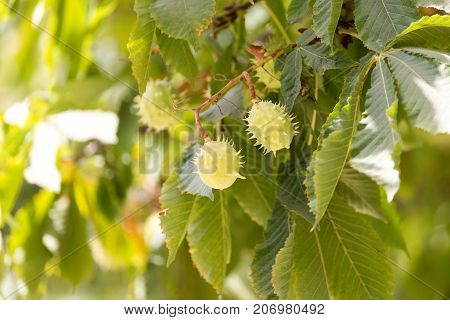 chestnut tree . In the park in nature