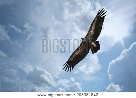 Griffon vulture, bird of pray flying in nature