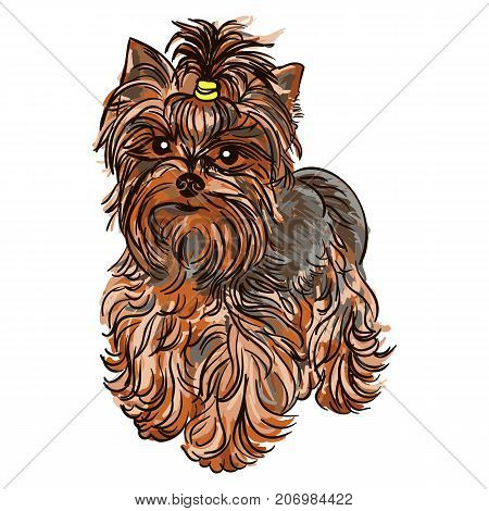 Colorful vector Illustration of the dog breed Yorkshire Terrier isolated on white background