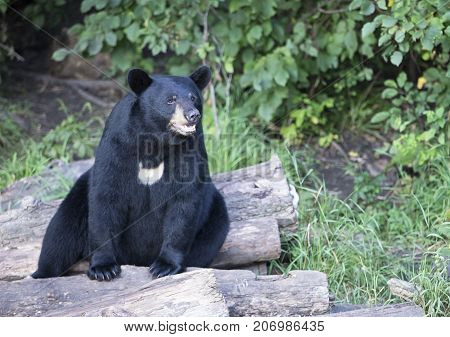 American Black Bear, sitting alert, on logs.  Summer in Northern Minnesota