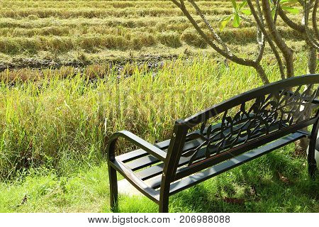 Black Wrought Iron Bench under the Tree by the Paddy Field in the Harvest Season