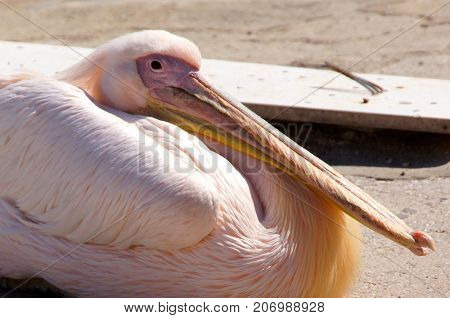 Pelican on the beach in Mykanos,