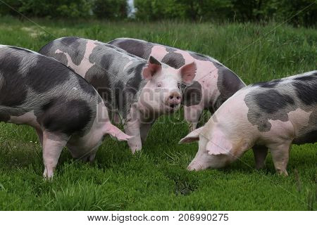 Domestic pig household on rural animal farm