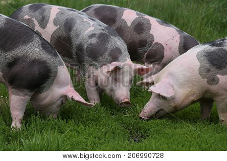 Spotted pietrian breed pigs grazing at animal farm on pasture. Group of pigs farming raising breeding in animal farm rural scene