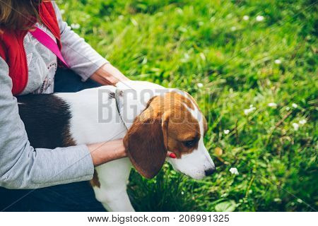 woman and beagle puppy. isolated on white background