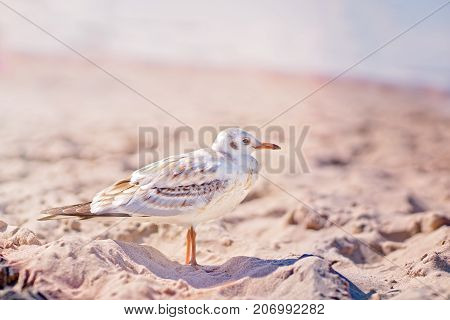 Seagull standing on the beach on a Baltic sea coast