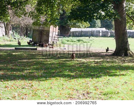 Chickens Outside Of Coop On Farm Grass Under Tree