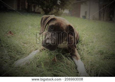 Brindle boxer mix puppy close up with black boarder
