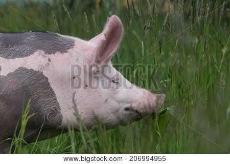 Side view photo of a pietrain young pig on the meadow. Young spotted domestic pietrain pig with black spots .Pietrain breed pig graze on fresh green grass on meadow