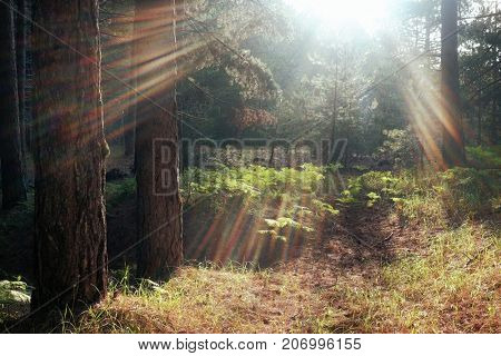 sunbeams shining on undergrowth of pinewood in Etna Park, Sicily poster