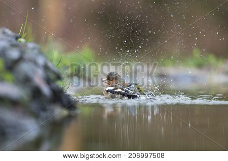 Single female finch bathing in  nature water