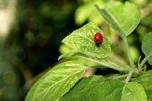 ladybug on the foliage of the tree poster