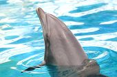 closeup head of dolphin in blue water poster