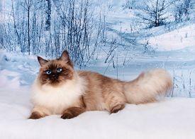 Siberian Cat On Winter Nature In Snow