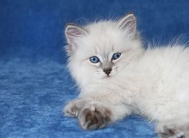 Small siberian neva masquarade colorpoint kitten on blue background