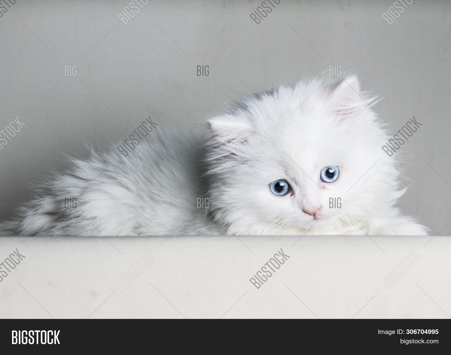 White Persian Cat Image Photo Free Trial Bigstock