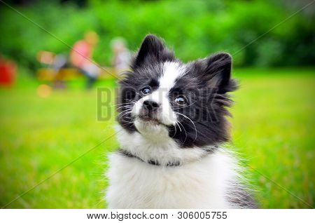 Cute Puppy Of Papillon Dog Breed In Summer Park. Portrait Of Lovely Papillon Puppy Playing With Dogs