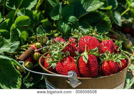 Strawberry Field On Farm Fresh Ripe Strawberry In Bucket Next To Strawberries Bed.