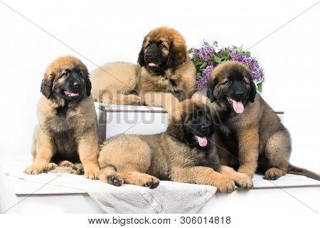 Leonberger puppy lying on the white background