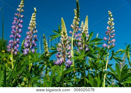 A Blue Lupin Flowers In The Meadow .