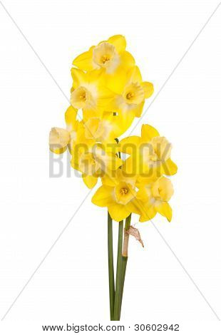 Bouquet Of Yellow And White Jonquils