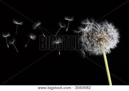 Dandelions In Wind On Dark Background