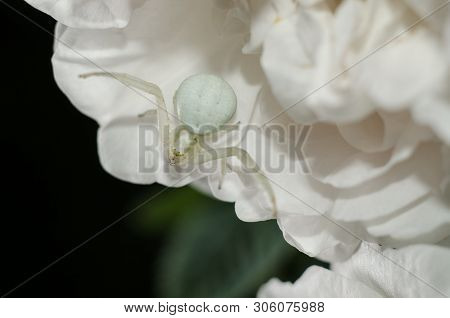 White Goldenrod Crab Spider Mimicking Color Of Rose Petals. White Spider On The Flower.