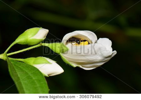 Close-up Of A Gray Bee Macropis Fulvipes Jasmine Jasminum Officinale Sleeping In A White Flower With